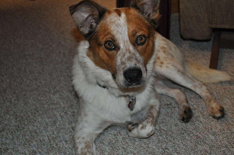 Red Heeler Mix Breed: red heeler mix